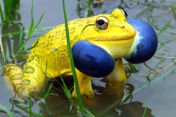 11) Indian Bullfrog