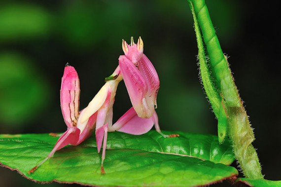 16) Pink Orchid Mantis