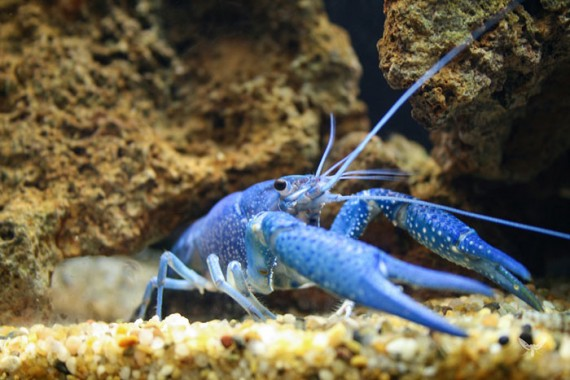 19) Blue Lobster