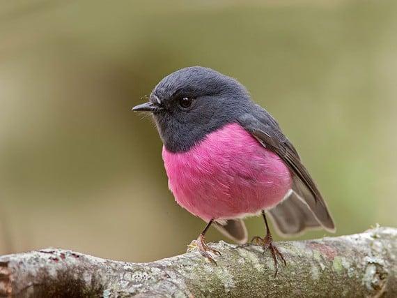 9) Pink Robin