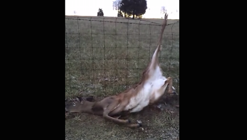 Deer Saved After Getting Stuck In A Wire Fence 171 Paw My Gosh