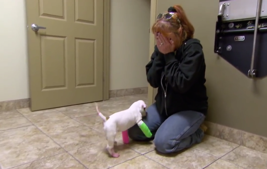 pit bull puppy wears adorable casts to fix front legs