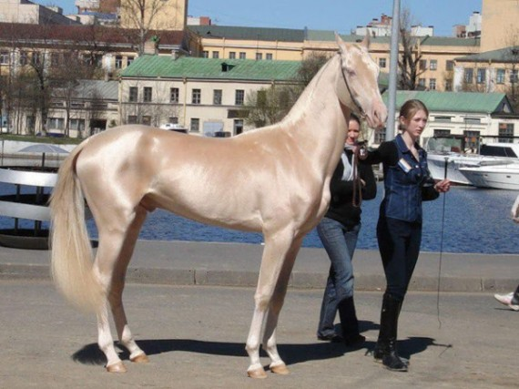 """1) Akhal Teke - Also known as the """"Golden Horse,"""" there are currently about 6,600 of these horses left in the world. What a beauty!"""