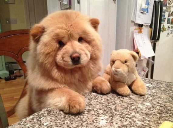 Download Poodle Chubby Adorable Dog - chubby12-570x421  Pic_3197  .jpg