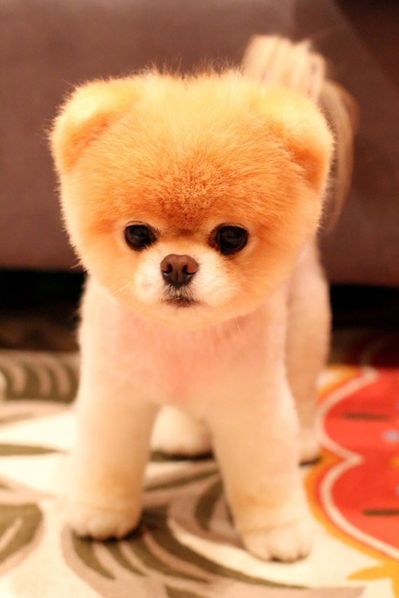 bear pomeranian puppies 17 chubby puppies that look like teddy bears 7028