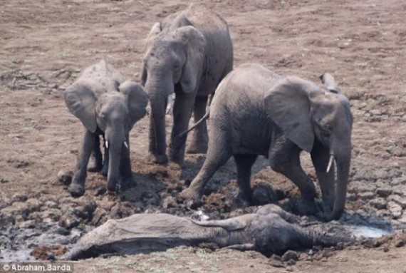 A mother and her baby were sinking in the mud as the herd could only stand and watch.