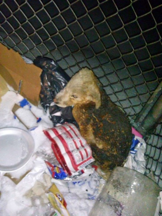 This is what the puppy looked like just moments after being pulled from the dumpster fire.