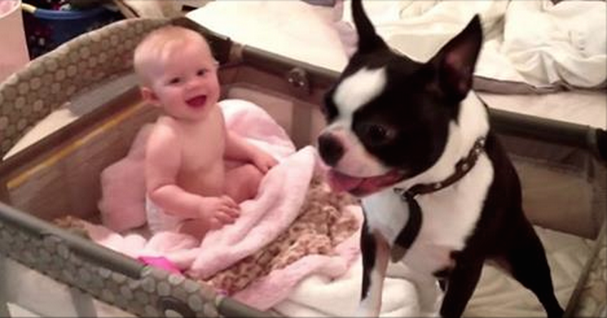 What This Boston Terrier Does With The Baby Is Something