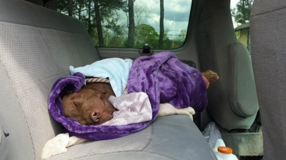 Rescuers safely loaded Curtis into the van and rushed him to Cypress Lake Animal Hospital.