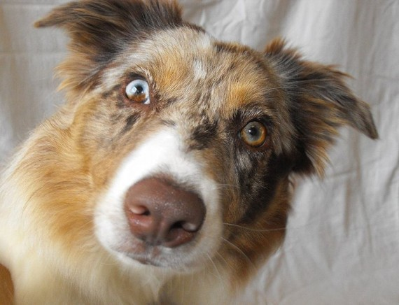 26 Dogs And Cats With Different Colored Eyes
