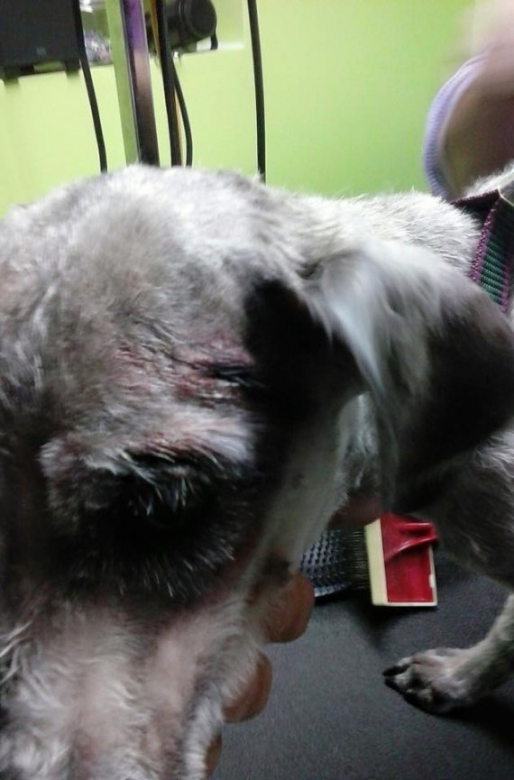 """After they shaved him, he was found to have numerous wounds on his body. Some were old scars and some were fresh and bloody. How anyone could beat a 15 pound schnauzer is beyond me. I wish a special hell for them."""