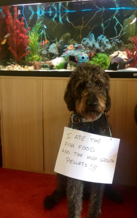 16 Labradoodles Busted And Shamed