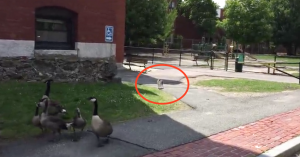 geese protect baby