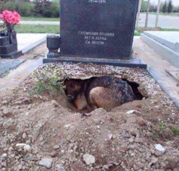 """This picture was circulating around. It was believed that this dog was laying underneath the gravestone of her late owner in Serbia. However, this was only just a rumor and it was not her owner."""