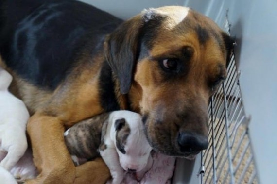 Seeing the Shepherd mother that they saved nursing her pups, Deborah got an idea...