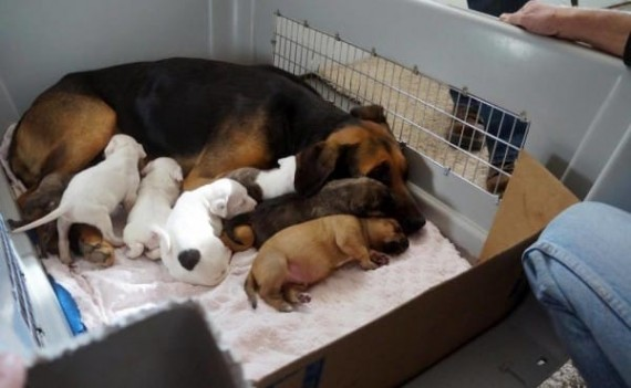 She introduced the five puppies one by one, seeing if mama would take to them. She allowed one to eat and seemed completely fine with it, so the others were brought in.