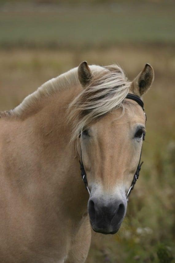 6) Norwegian fjord horse