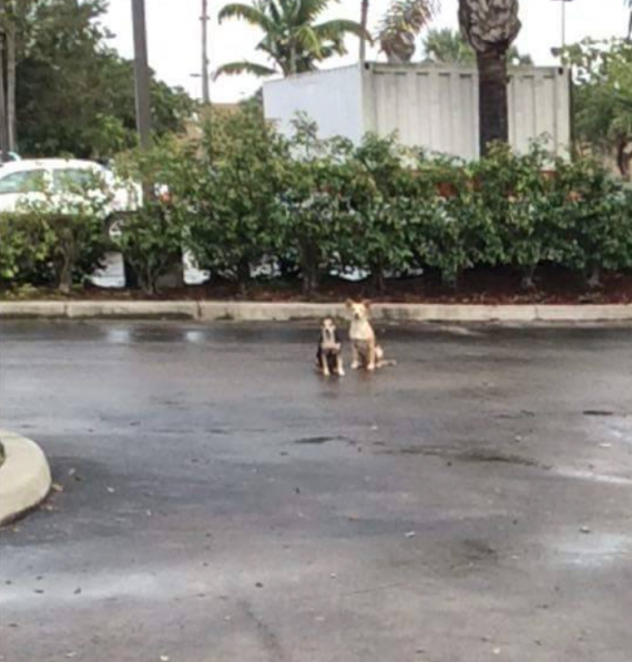 The two were stranded in a parking lot in Florida, mostly staying in the one spot. It's likely where their owner abandoned them.