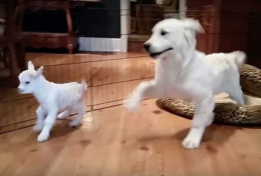 Golden Retriever Puppy Completely Loses It When He Meets A