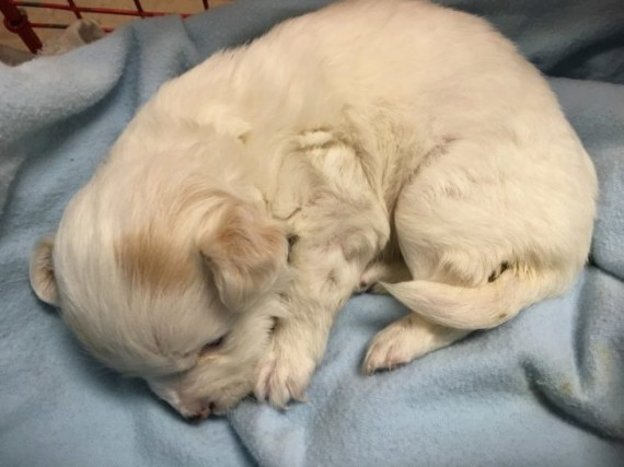 The tiny puppy was found all alone in a park, barely alive. The Good Samaritan who found her brought her home.