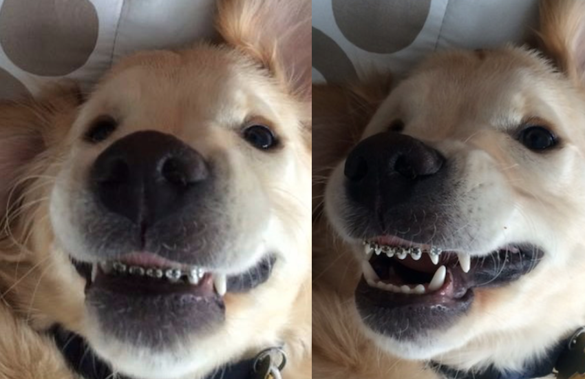 dog with braces