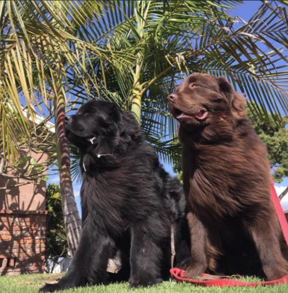 After doing some research, the Fishers decided to go with two Newfoundlands because of their calm and loving nature.