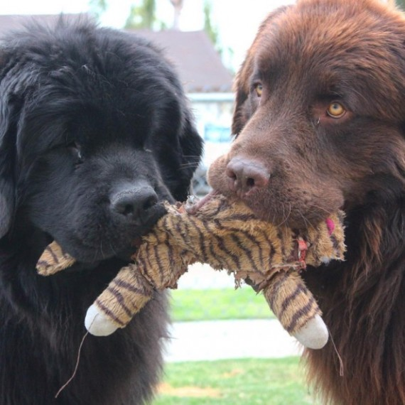 But when mom and dad saw one of the dogs in person, they were shocked by the size. After all, the breed can grow up to six feet long from nose to tail and weigh over 270 pounds!