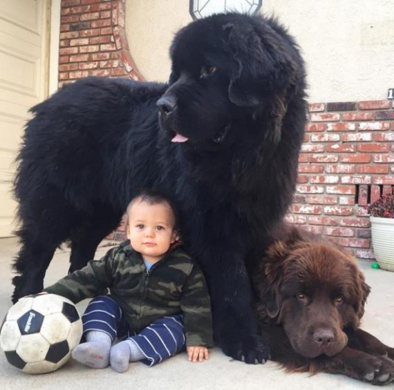 The Newfoundlands turned out to be as advertised: amazing with the young ones!