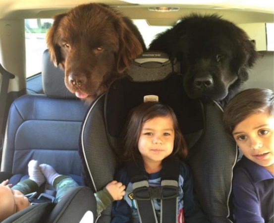 They truly are gentle giants and lap dogs at heart, allowing the kids to crawl all over them. And the family can take Ralphie and Boss anywhere!