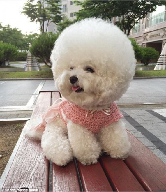 Like A Poodle The Bichon Frise Is Known For Its Short Curly Hair