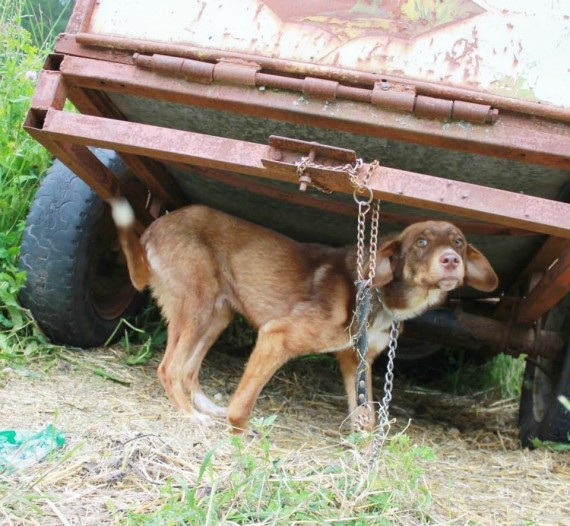 Duke's owners said that the 10-month-old puppy had a contagious disease and chained him to a trailer.