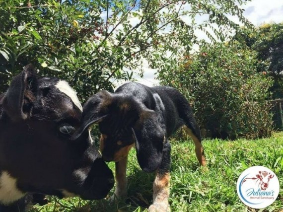 Bernie the cow was rescued from slaughter to live at the sanctuary. And it was love at first sight for Sri Ram and Bernie.