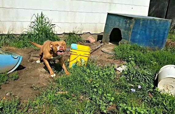 Fortunately, the owners were fine with the idea of finding Tank a new home. The dog exhibited worrisome behavior, like lunging at the children playing in the yard. Even the owners had to keep their distance and throw his food to him.