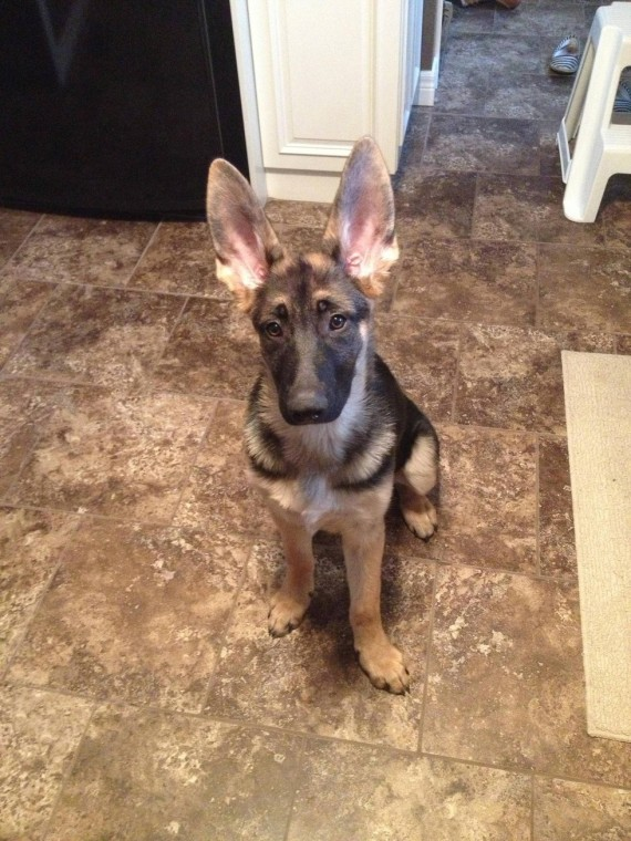 15 Puppies Who Cannot Wait Until They Grow Into Their Ears