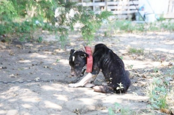 The severely emaciated pup in the background could barely lift her head and was on the brink of death. Her giant collar was attached to a heavy chain, and she had no shelter to hide from the elements.
