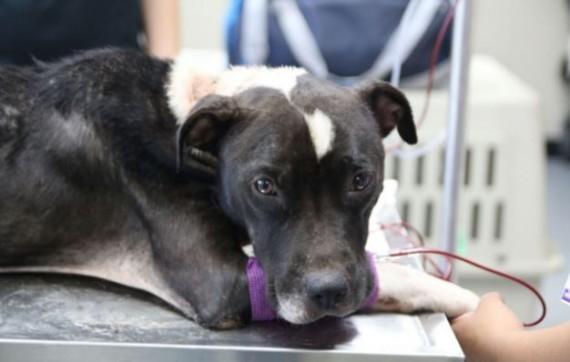 She was rushed to a clinic for a checkup and immediately started treatment. The poor dog had almost no blood flowing through her veins.