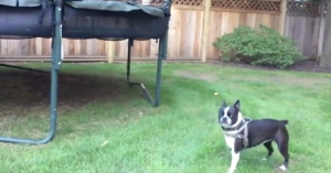 french bulldog trampoline