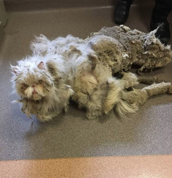 Sinbad was rescued by the Anti-Cruelty Society after growing out five pounds of fur.