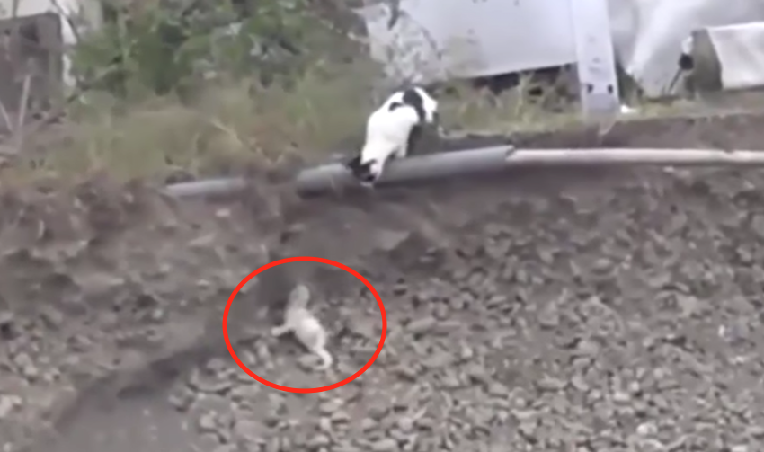 Cat Rescues Dog From Ditch