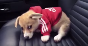 tiny corgi sweatshirt