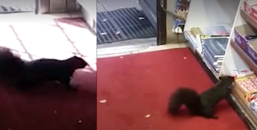 squirrels caught coming into store to steal their favorite