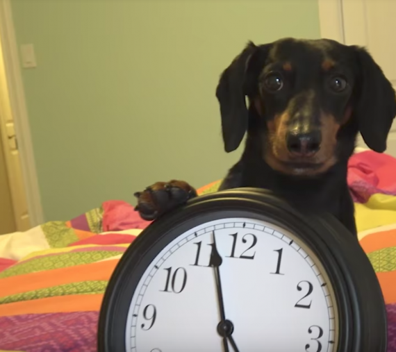 crusoe the dachshund is always hungry